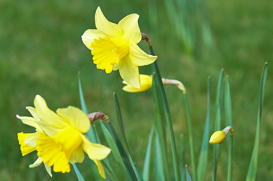 Daffodils-southwell-acupuncture-clinic