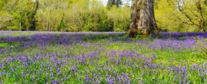 Bluebells Southwell Acupuncture