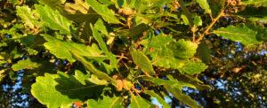 Autumn Oak - Late Summer